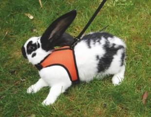 Postroj SPORT pro králíka s vodítkem