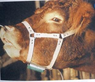 Býčí ohlávka pro značení krav v říji